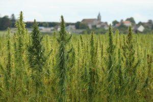 Cannabis fields